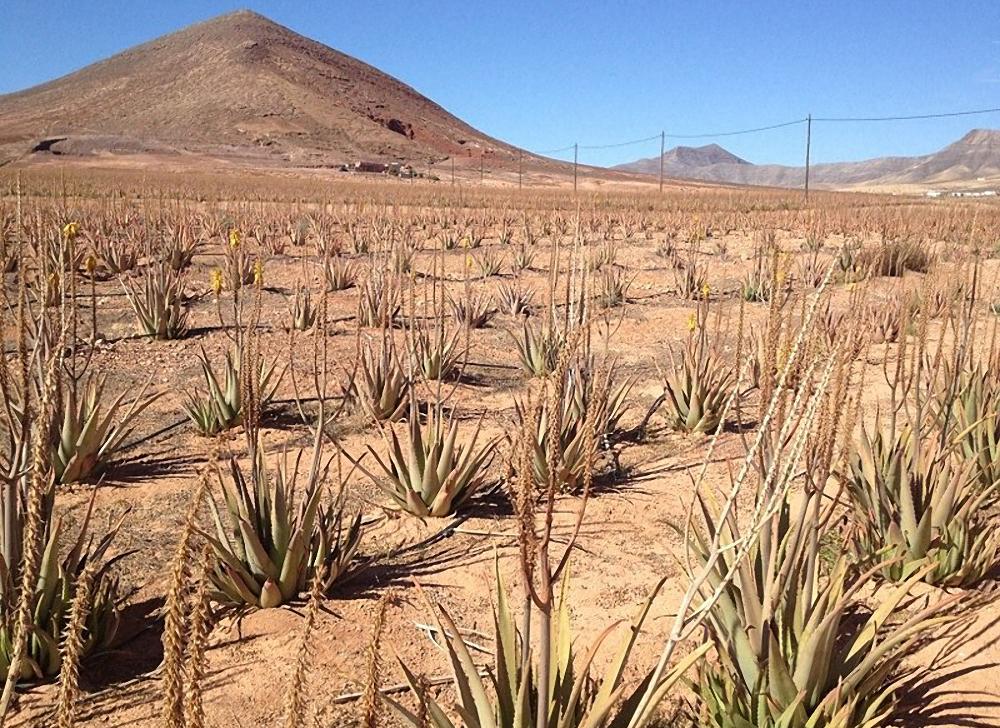 aloe vera proprietà e benefici della pianta coltivata nelle isole canarie